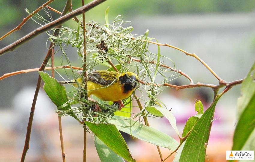 นกกระจาบทอง3 วัดป่าคลอง11